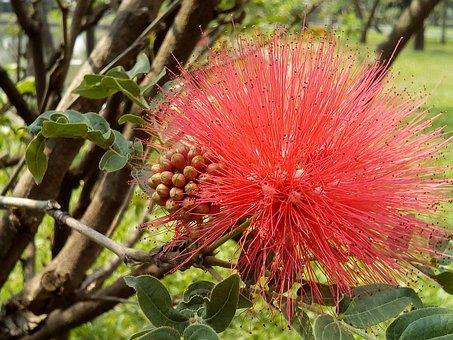 Flowers Thailand, Tassel Flower Chom Phon, Red Flowers