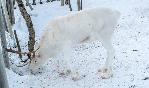 Reindeer, White, Antlers, Winter, Deer, Snow, Animal