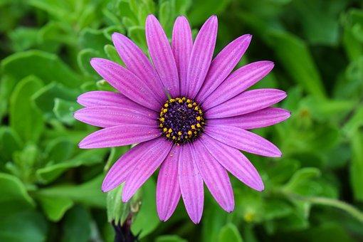 African Daisy, Osteospermum, Garden, Springtime, Flower