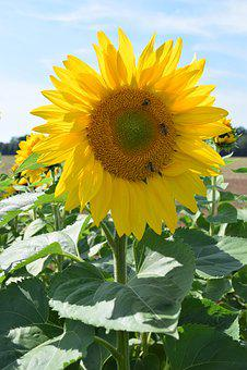 Sun Flower, Plant, Yellow, Summer, Nature, Late Summer