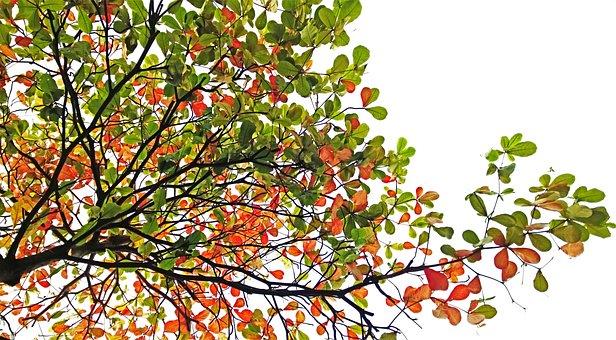Indian Almond, Tree, Autumn, Terminalia Catappa