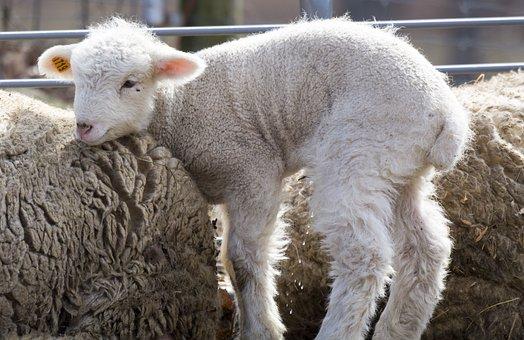 Baby, Sheep, Farm, Cute, White, Little, Animal, Lamb