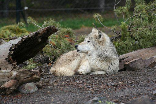 Wolf, Animal, White, Wildlife, Wild, Nature, Mammal