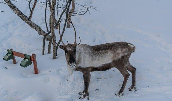 Reindeer, Brown, Antlers, Winter, Deer, Snow, Animal