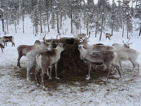 Lapland, Animal Feed, Reindeer Farm, Animals