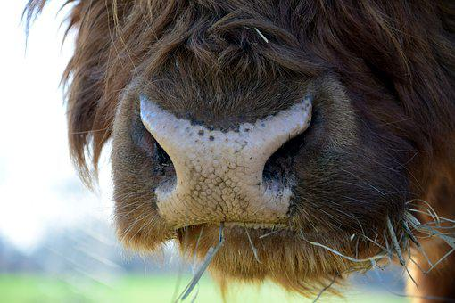 Snout, Close, Animal, Beef, Highland Beef, Hay, Eat