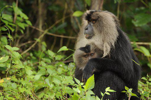Lion Tailed Macaque, Wild Life, Natural, Animal