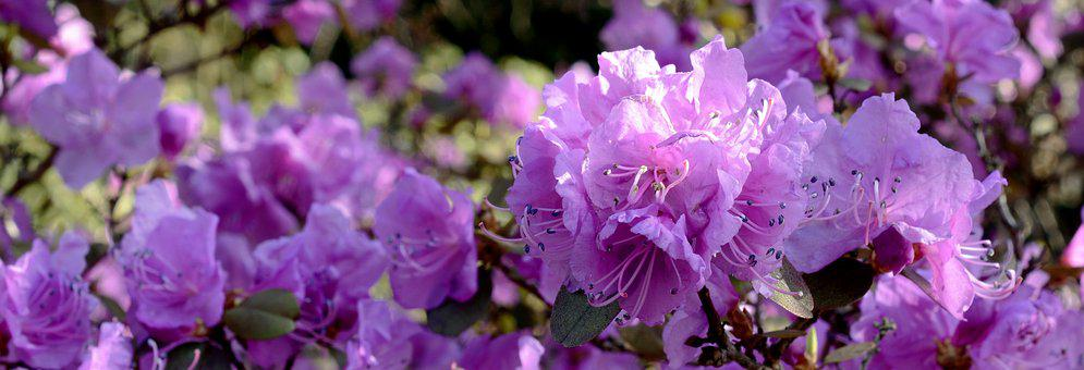 Rhododendron, Blossom, Bloom, Flower, Spring, Purple