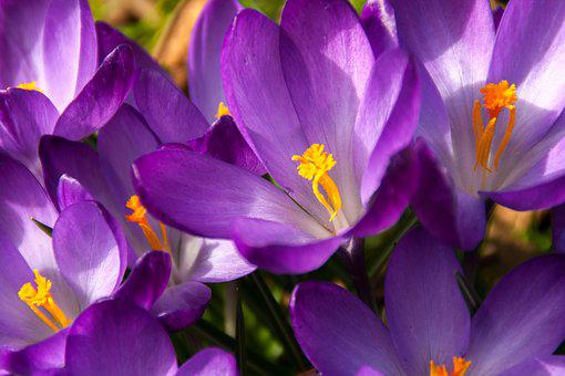 Crocus, Spring, Easter, Flower, Blossom, Bloom