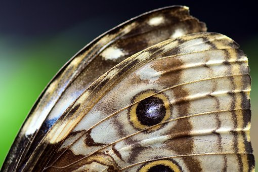 Blue Morphofalter, Morpho Peleides, Butterfly Wings