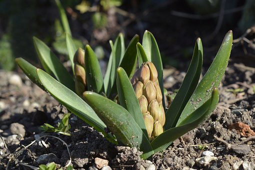 Hyacinth, Bud, Spring, Flower, Plant, Garden