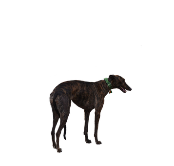 Greyhound, Dog, Racer, Retired, Cutout, Isolated