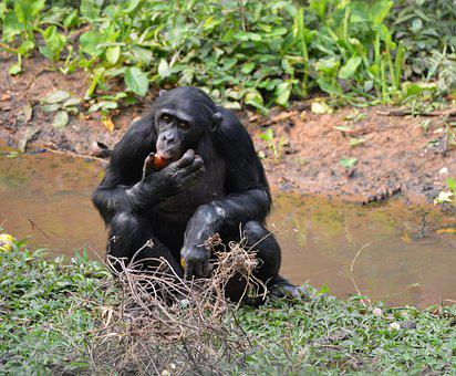 Bonobo, Lola Ya Bonobo, Democratic Republic Of Congo
