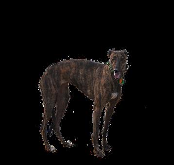 Greyhound, Dog, Isolated, Cutout, Racer, Retired, Pet