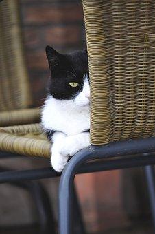 Cat, Pet, Black And White Cat, Animals, Domestic Cat