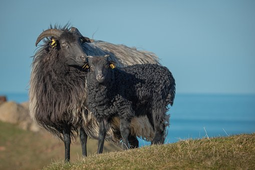 Grey Horned Heidschnucke, Heidschnucke, Sheep, Lamb