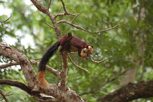 Indian Joint Squirrel, Western Ghat Squirrel, Squirrel