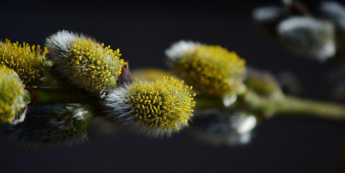 Pasture, Pussy Willow, Inflorescence, Close, Spring