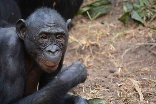 Lola Ya Bonobo, Democratic Republic Of Congo, Kinshasa
