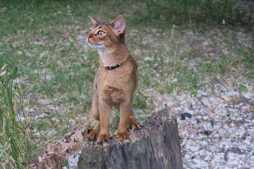 Kittens, Abissintsykoshki, Koshkiabissintsy