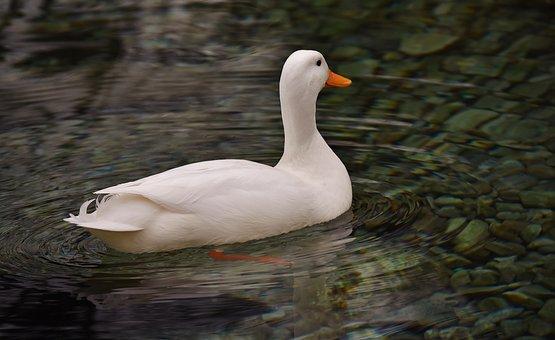 Peking Duck, White, Mallard, House Duck, Animal, Duck