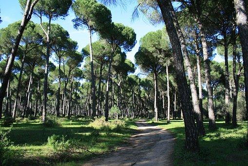 Pinewood, Stone Pine, Trail