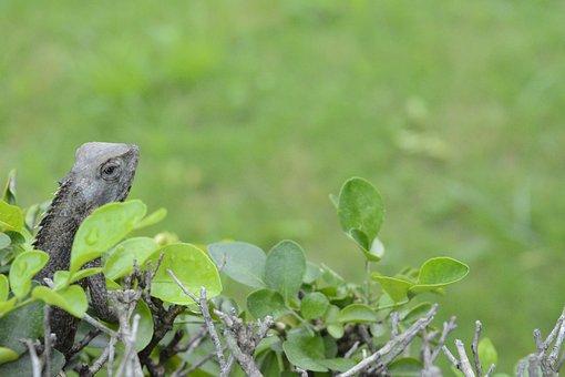 Chameleon, Animal, Macro, Nature, Green, Natural, Plant