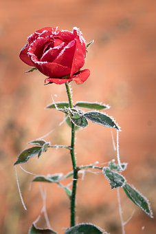 Rose, Ice, Hoarfrost, Winter, Cold, Nature, Blossom