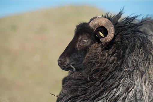 Grey Horned Heidschnucke, Heidschnucke, Sheep, Black