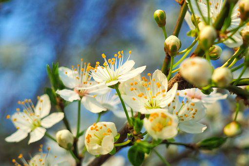 Sour Cherry, Tree, Nature, Summer, Spring, Fruits