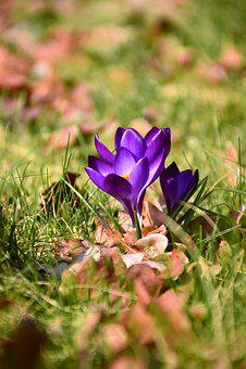 Crocus, Spring Flower, Blossom, Bloom, Purple, Nature
