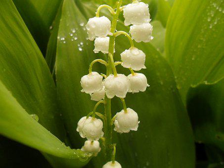 Lilies Of The Valley, Flower, Spring Flowers, Flowers