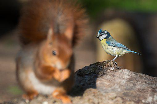Blue Tit, Cyanistes Caeruleus, Squirrel