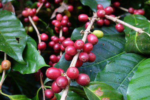 Thailand Coffee, Nature, Coffee, Thailand