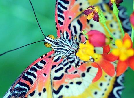Cethosia Cyane, Leopard Top, Butterfly, Tropical