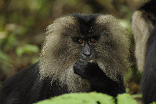 Lion Tailed Macaque, Western Ghats, Nature, Lion