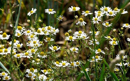Wild Camomile, Cornfield, Arable, Agriculture, Field