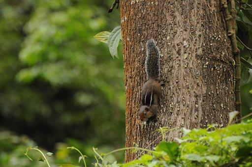 Western Ghats Squirrel, Wildlife, Valparai, Kerala