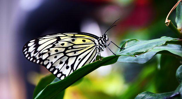 Butterfly, Yellow, Yellow Black, Insect, Wing, Tender