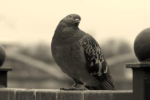 Dove, Bird, Look, Wry, An Interesting, Black And White