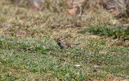 Song Sparrow, Bird, Animal, Spring, Searching For Food