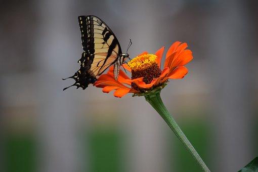 Butterfly, Flower, Zinnia, One Flower, Blooming, Petals