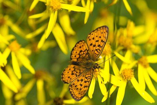 Butterfly, Fritillary Butterfly, Flowers, Mongolia