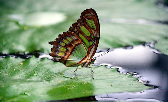 Malachite, Spirotea Steles, Butterfly Wings, Close Up