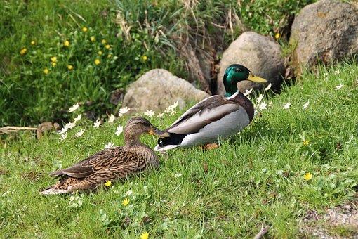 Duck, Nature, Water Bird, Meadow, Bird, Animals
