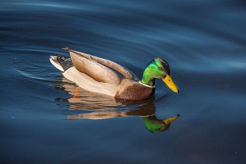 Duck, Fowl, Bird, Mallard, Waterfowl, Water