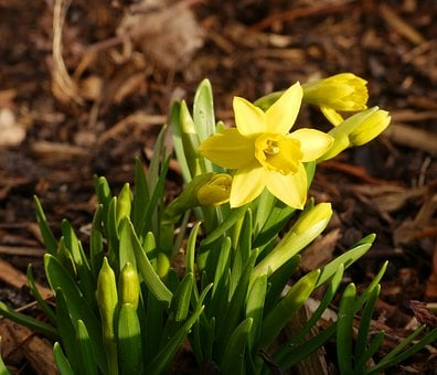 Tete A Tete, Narcissus, Easter, Yellow, Frühlingsanfang