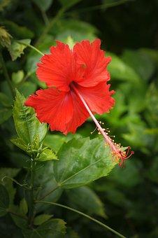 Hibiscus, Singapore, Asia, Nature, Petal, Flower