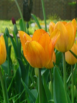Tulip, Tulips, Holiday, Flowers, Flower, Spring