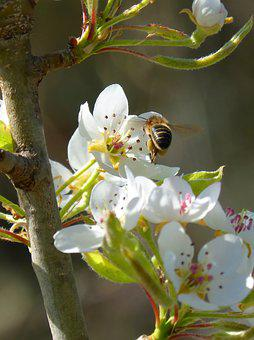 Bee, Libar, Insect, Bee Flight, Flowering Quince